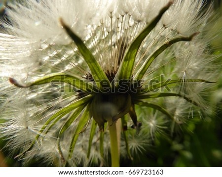 dandelion flower with mature seeds seen from below in backlight