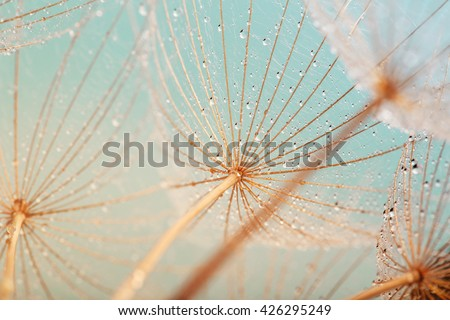 Stock Photo dandelion flower with water drops