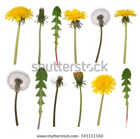 Dandelion flowers and leaves isolated on white background