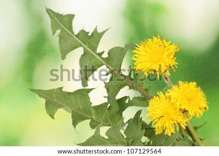 dandelion flowers and leaves on green background