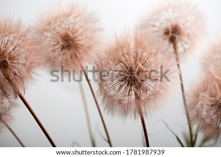 dandelion flowers at maturity, summer plant with aerial seeds Foto stock ©