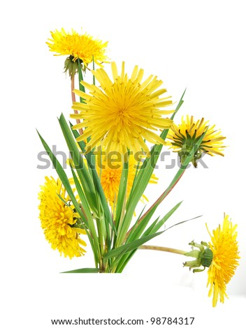 Dandelion flowers in America