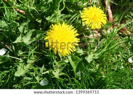 Dandelion flowers in green grass background