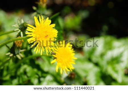 Dandelion flowers in the bright light of the sun