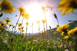 Dandelion flowers on a meadow, selective focus with wide angle lens