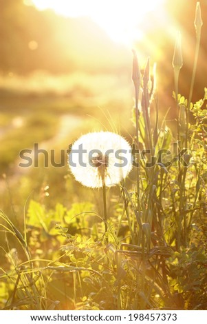 Dandelion flowers on green spring meadow and sunrise.