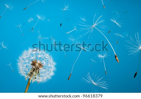 dandelion fluff from aircrafts in the sky