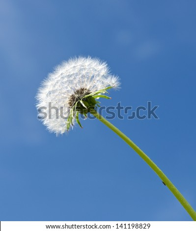 Dandelion, Fluff of dandelion in blue background close up, dandelion flower in spring time, springtime , season for dandelion,fluff of dandelion texture, blown dandelion, vector dandelion,crystal flow