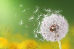 Dandelion flying on green background