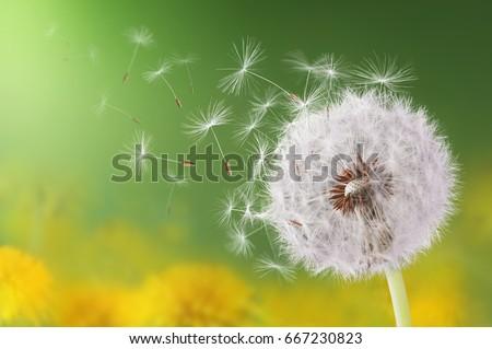 Dandelion flying on green background #667230823