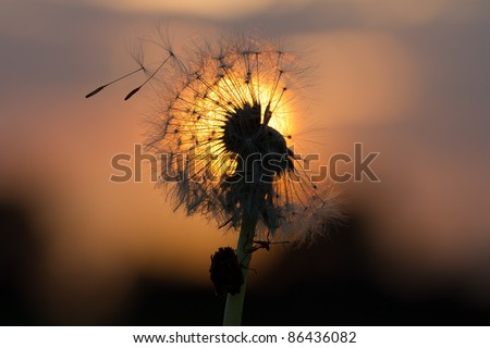 Dandelion fused with sunset so it looks like a lit bulb.  When the light of God is shining through you... even when you think you are as common as a dandelion... you still become perfectly beautiful.