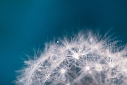 Dandelion fuzzies with dewdrops close up