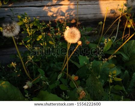 dandelion garden summer sunset photo