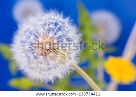 dandelion group macro closeup on blue