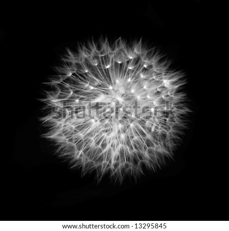 dandelion head black and white - stock photo