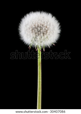 Dandelion head full of seeds isolated on black background