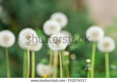 Dandelion head on green background, closeup view