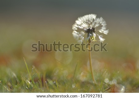 Dandelion in a autumn morning