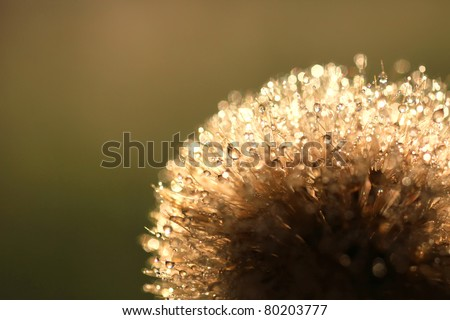 Dandelion in dew drops on sunlight