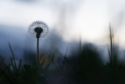 Dandelion in field out of focus bokeh touching lonely alone serenity lost blurry vision abstract meadow mountain background flying death decay birth transformation meditation light and shadow