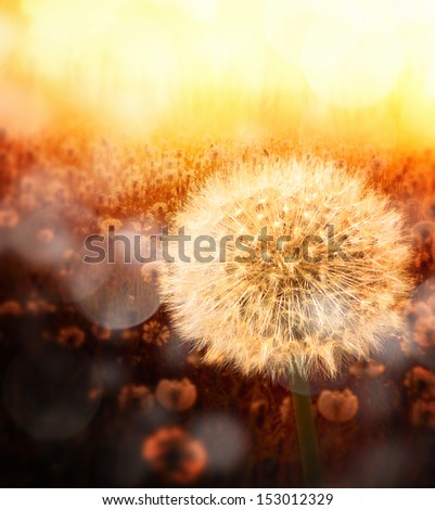Dandelion in golden sunlight with nice bokeh effect