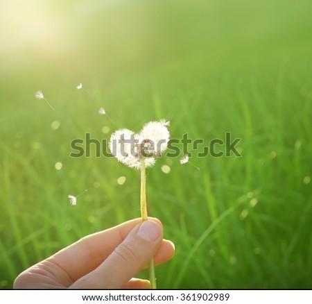 dandelion in shape of a heart  #361902989