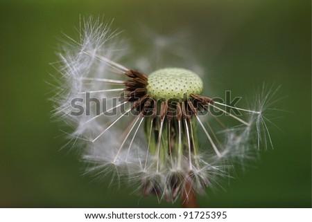 Dandelion in soft light