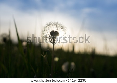 Dandelion in the grass during sunset. Slovakia #641642230