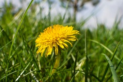 Dandelion in the grass. Yellow dandelion flower. Green grass. Close-up. Spring Green. Spring mood.