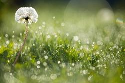 Dandelion in wet green grass with dew lawn backround