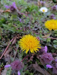 Dandelion is a plant with yellow flowers. Taraxacum is the most common variety of this plant. Dandelions contain beta-carotene, which is an antioxidant that helps protect cells from damage.