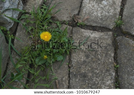 Dandelion is photogenic and beautiful flower but also undesirable as weeds in a stone garden walkway