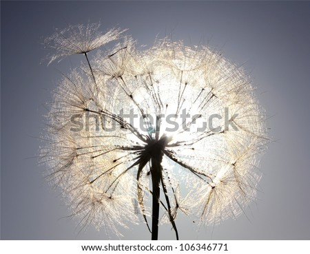 Dandelion is ready to fly on a background a bright blue sky