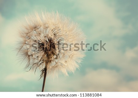 Dandelion Isolated in the blue background