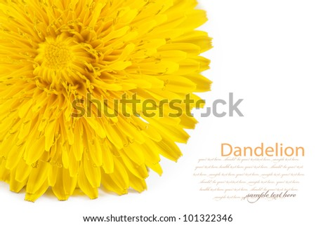 dandelion. isolated on a white background