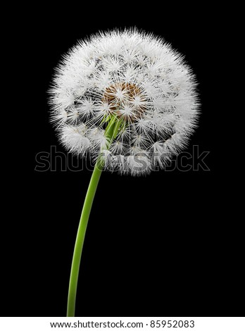 Dandelion isolated on black background, 3d image