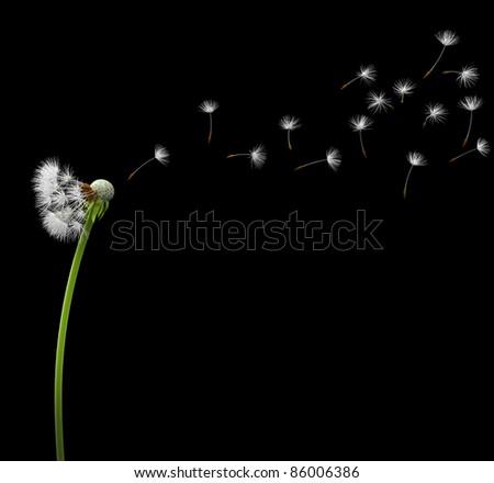 Dandelion, isolated on black background, 3d image