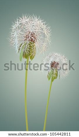 dandelion isolated on blue background
