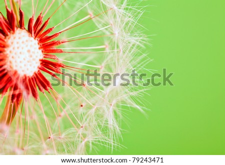 Dandelion isolated over green background