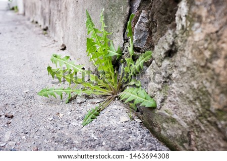 Dandelion leaves growing in concrete crack on pavement, determination and perseverance, never give up concept