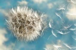 Dandelion Loosing Seeds in the Wind