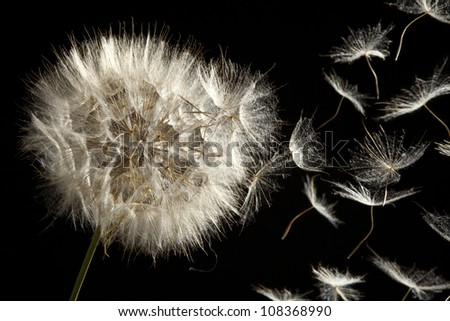 Dandelion Loosing Seeds in the Wind - stock photo
