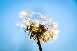 dandelion macro contrastly