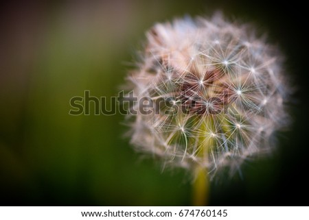 Dandelion Macro, Make a Wish #674760145