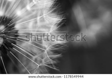 Dandelion macro photography on white i black