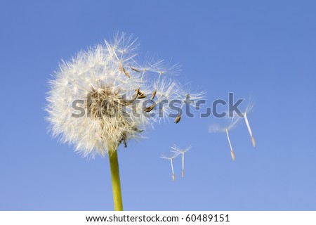 Dandelion offspring detached by the wind isolated on blue sky background