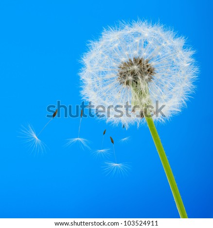 Dandelion on a blue background. Detailed picture of a flower