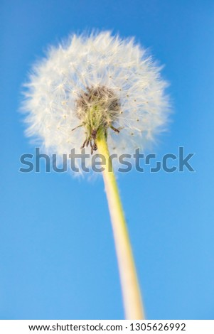 Dandelion on a blue background. Detailed picture of a flower.