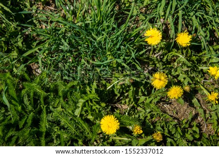 Dandelion on a green meadow. background with blank space for text