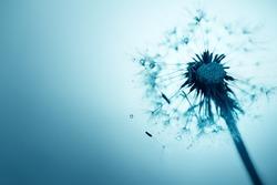 Dandelion on blue background closeup